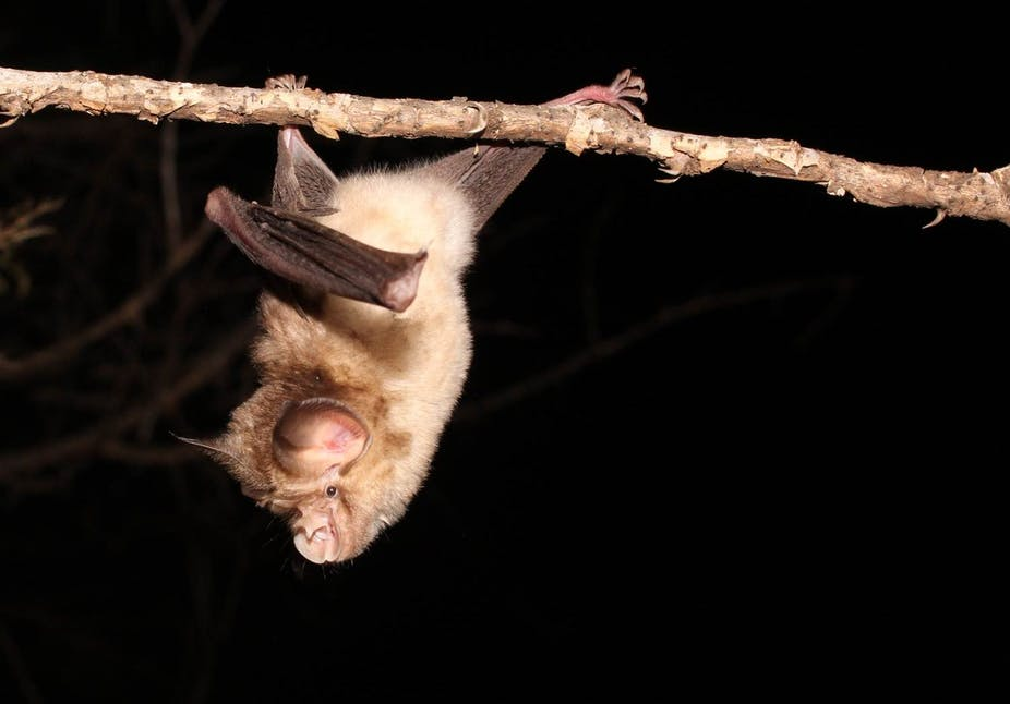Why It S Important To Study Coronaviruses In African Bats