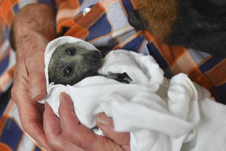 How you can help – not harm – wild animals recovering from bushfires