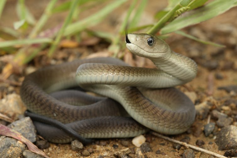 who would win in a fight between the Black Mamba and the Inland Taipan?