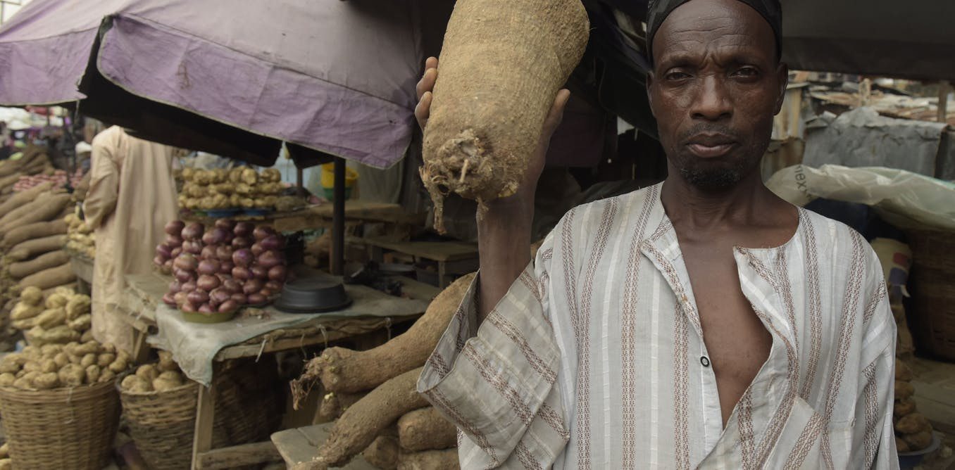 The best time to harvest yams? Science says when the lower leaves turn yellow
