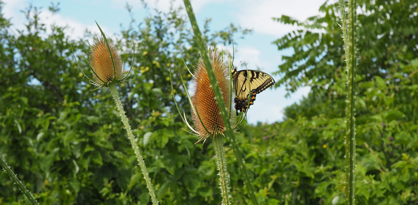 How Wet'suwet'en butterflies offer lessons in resilience and resistance