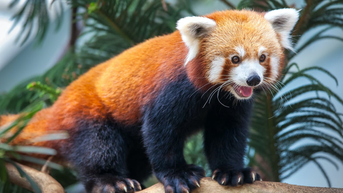 Red pandas may be two different species - this raises some tough questions  for conservation