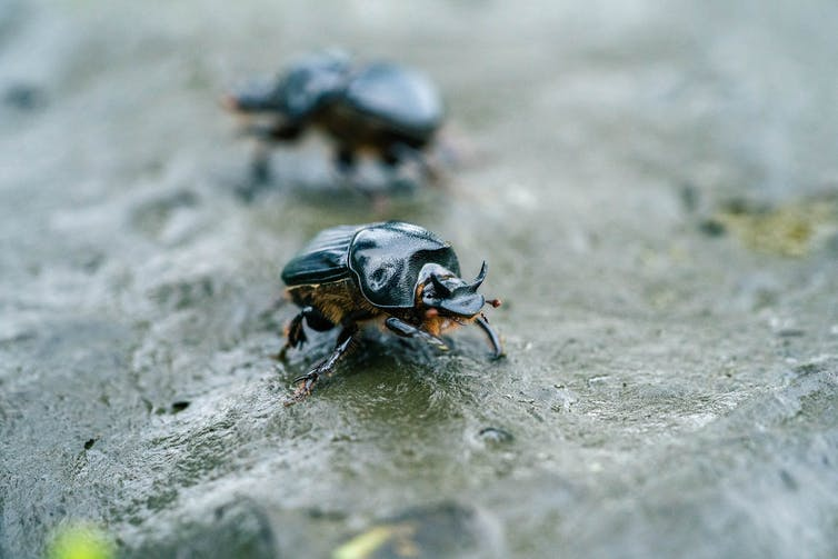 How dung beetles engineer better ecosystems in Australia