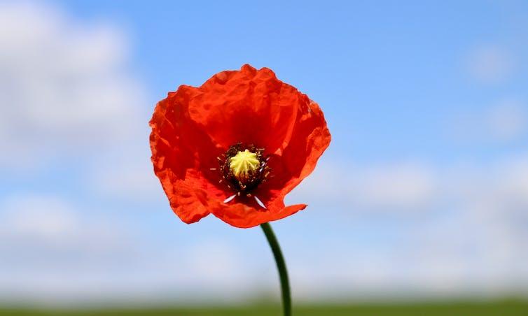 A single poppy.