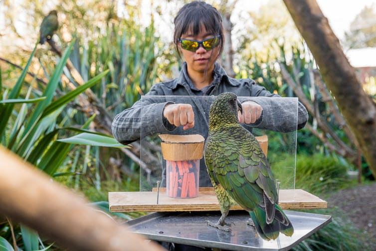 this parrot can predict the chances of something happening