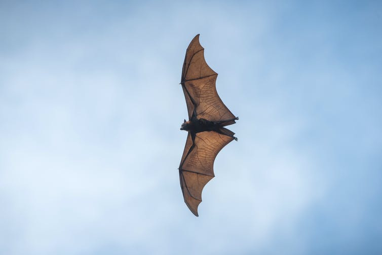 Bats carry an enormous number of viruses. Although the viruses rarely make the bats sick, they can be passed on to people.Getty Images / Bird Hunter591