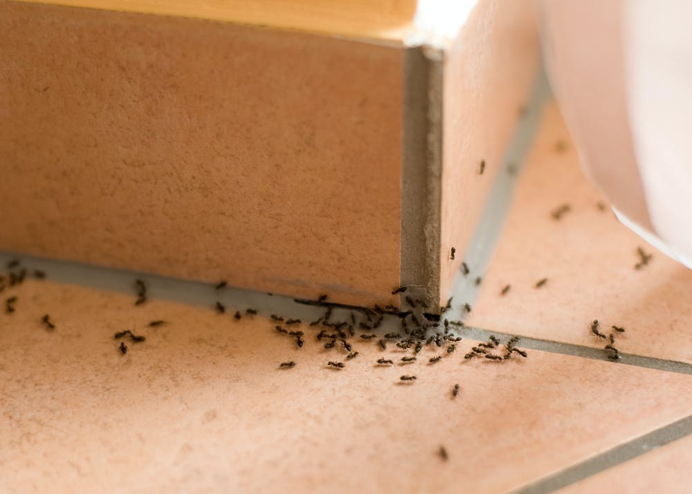 Why Tiny Ants Have Invaded Your House, How To Get Rid Of Tiny Ants In Bathroom