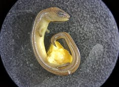 This lizard lays eggs and gives live birth. We think it's undergoing a major evolutionary transition