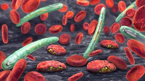 en el ciclo de vida del parásito de la malaria, los humanos son