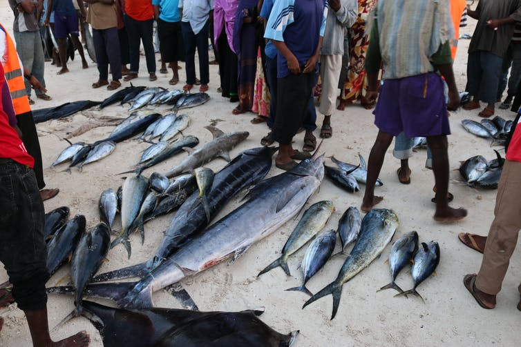 A selection of landed fish – including sharks, tuna and swordfish (Photo: Per Berggren/Author provided)