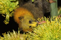 Grey-headed flying fox feeding on flower nectar, Queensland, Australia. Its face is covered with yellow pollen, which it will spread to other flowers.Andrew Mercer/Wikipedia,CC BY