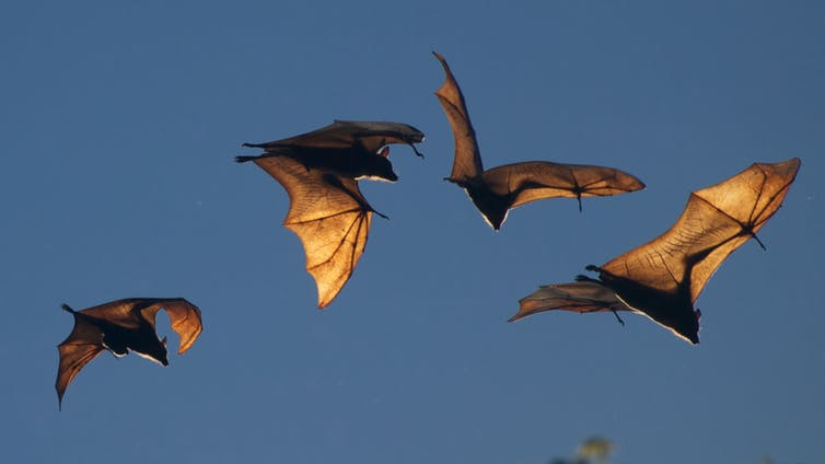 The blood vessels in bats' wings (shown: fruit bats, Northern Territory, Australia) radiate some of the heat they generate while flying.shellac/Flickr,CC BY
