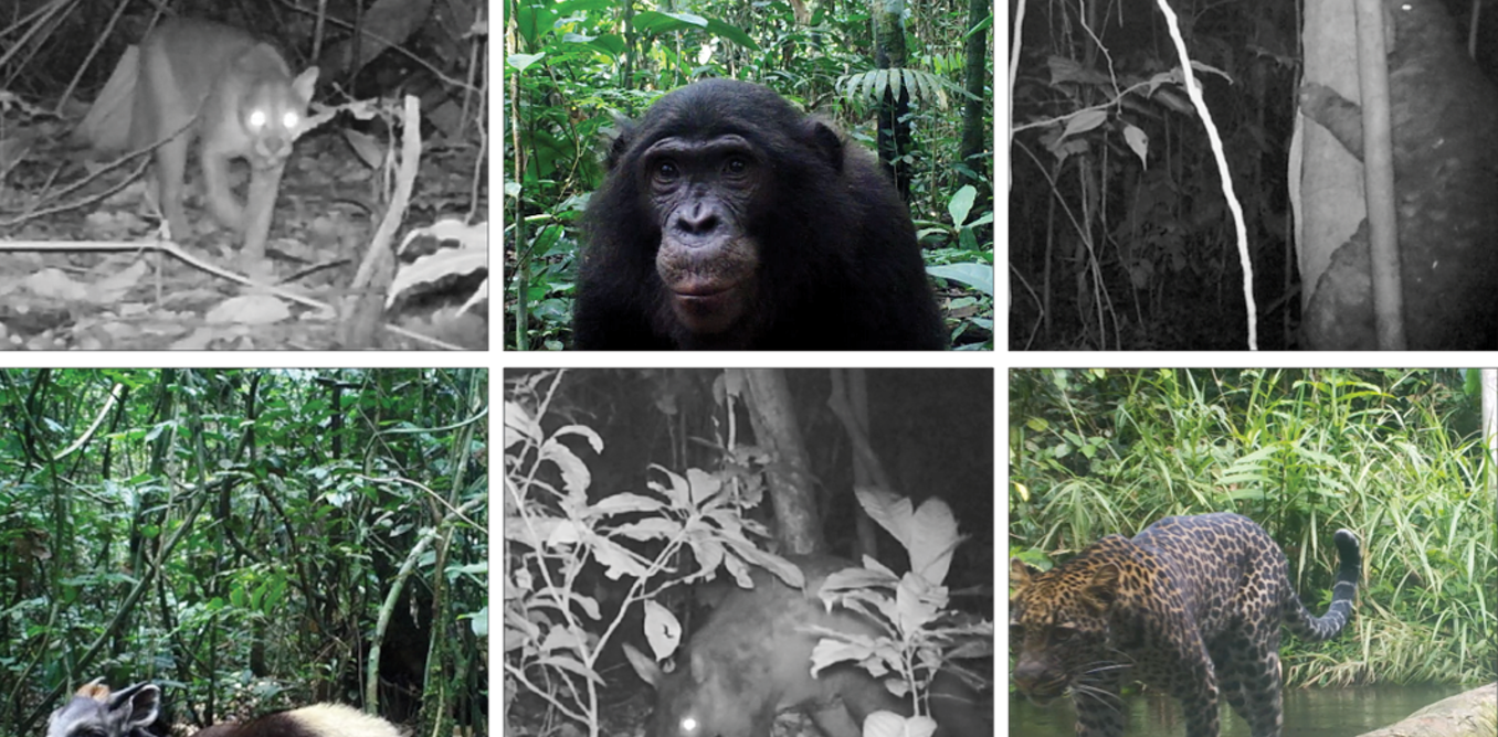 Camera traps completed one of the most thorough surveys of African rainforest yet