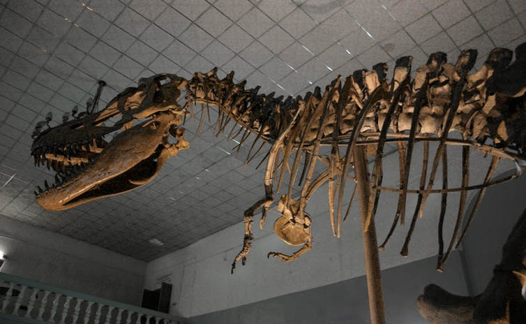 Will humans go extinct? T-rex