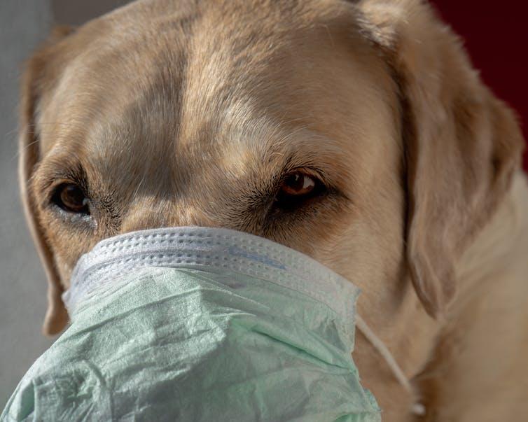 mascotas y coronavirus