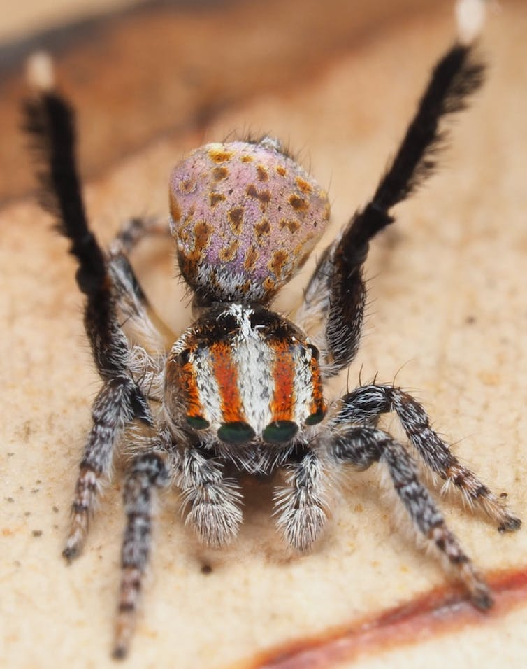 I travelled Australia looking for peacock spiders, and collected 7 new species (and named one after the starry night sky)