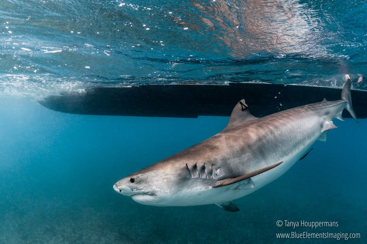 Tiger sharks are large and powerful predators. Getting close enough for a check-up is not easy. Tanya Houppermans