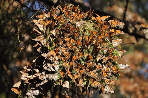 Tree covered with monarch butterflies