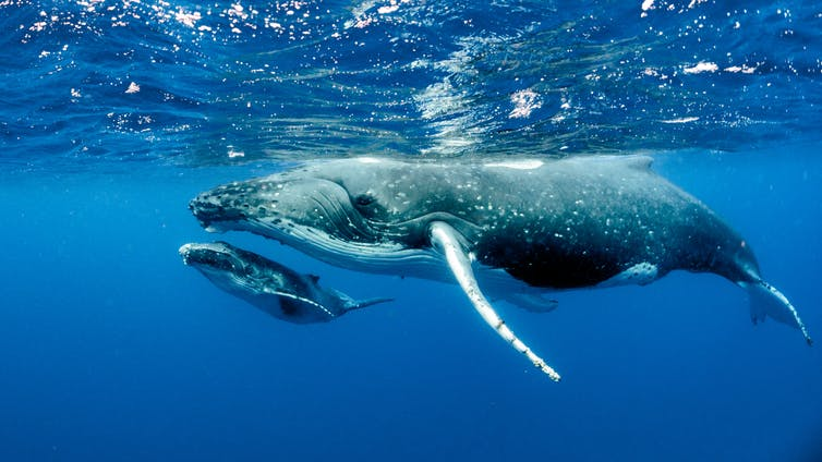 I measure whales with drones to find out if they're fat enough to breed