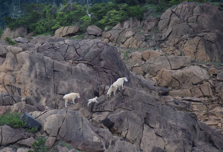 A mountain goat nanny, two kids and a subadult climb up a mountainside.