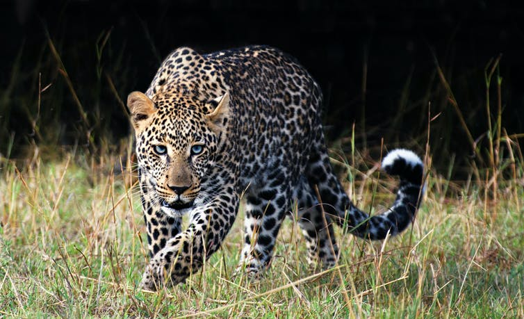 Growing evidence suggests that most leopard populations across southern Africa are threatened by exploitation. GettyImages