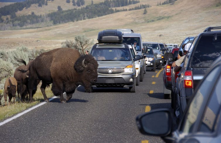 Buffalo cross road filled with traffic