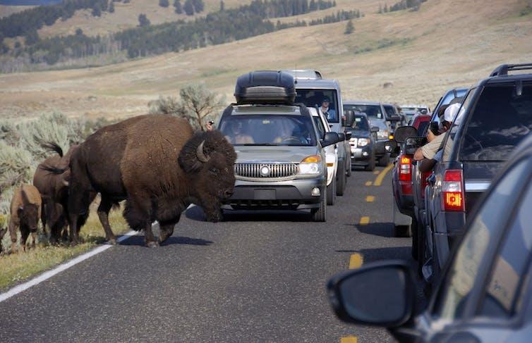 Buffalo crossing road, photo