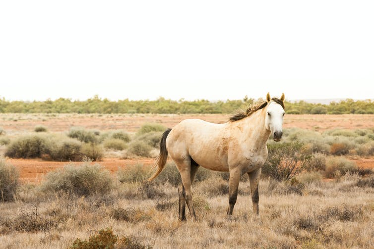 National parks are for native wildlife, not feral horses: federal court