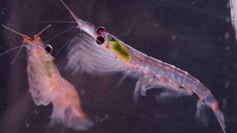 Climate change threatens Antarctic krill and the sea life that depends on it