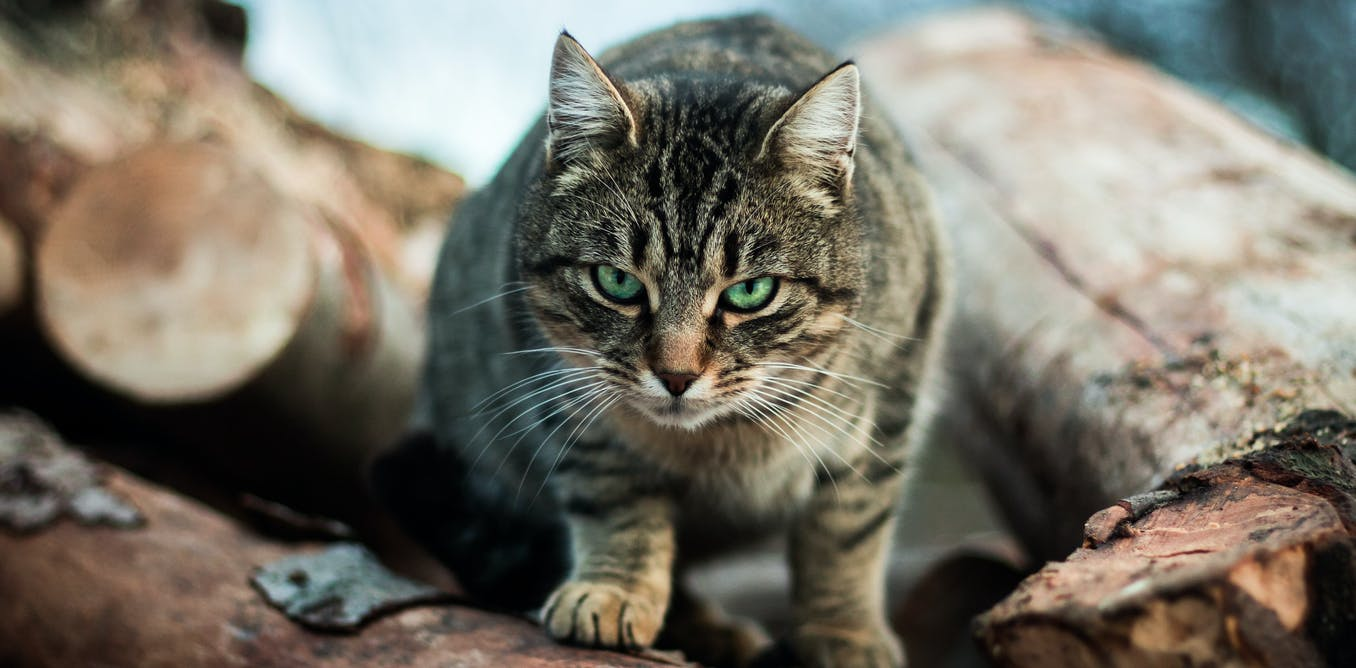 One cat, one year, 110 native animals: lock up your pet, its a killing machine