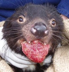 We developed tools to study cancer in Tasmanian devils. They could help fight disease in humans