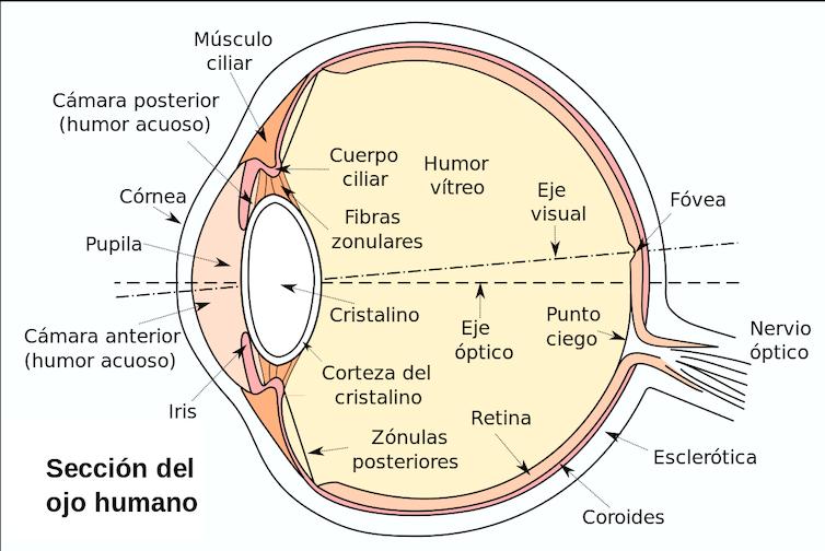 Esquema de la sección del ojo humano.Wikimedia Commons /