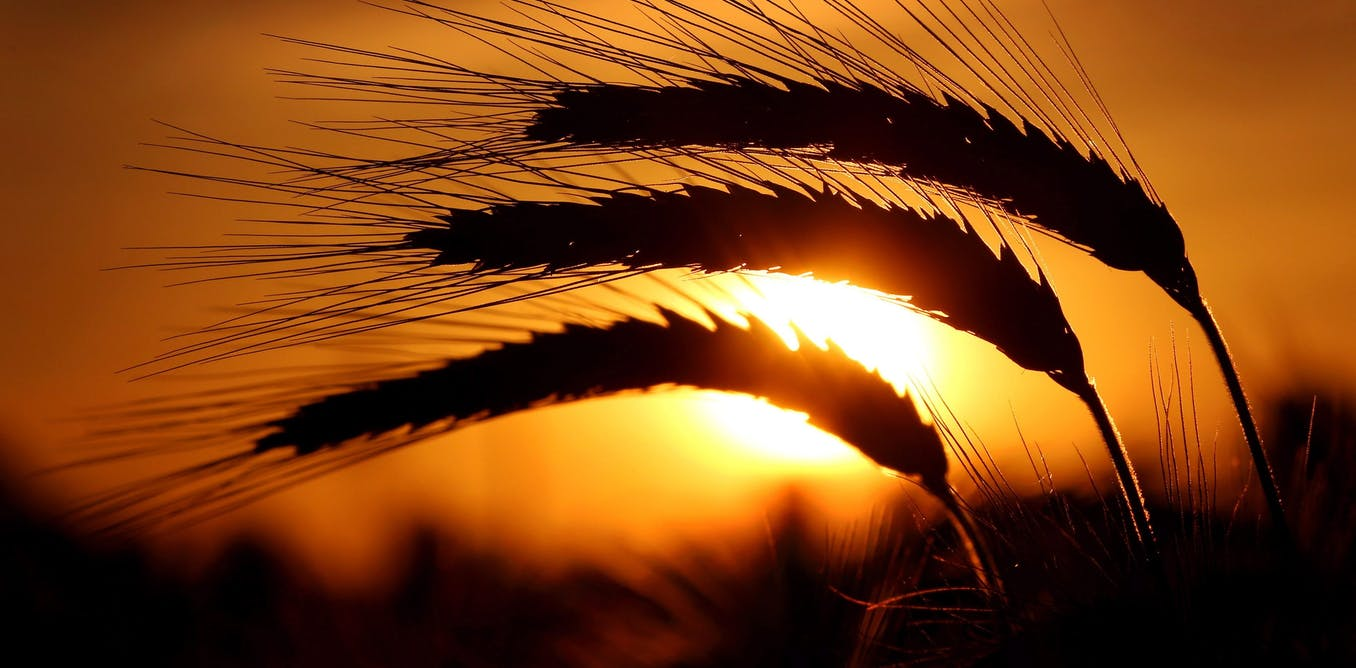Vital Signs: Australian barley growers are the victims of weaponised trade rules