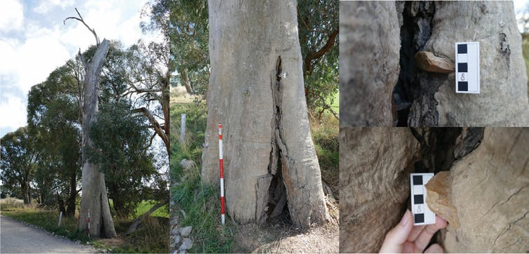 How a stone wedged in a gum tree shows the resilience of Aboriginal culture in Australia
