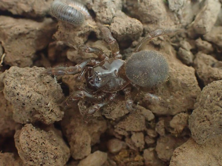 I'm searching firegrounds for surviving Kangaroo Island Micro-trapdoor spiders. 6 months on, I'm yet to find any