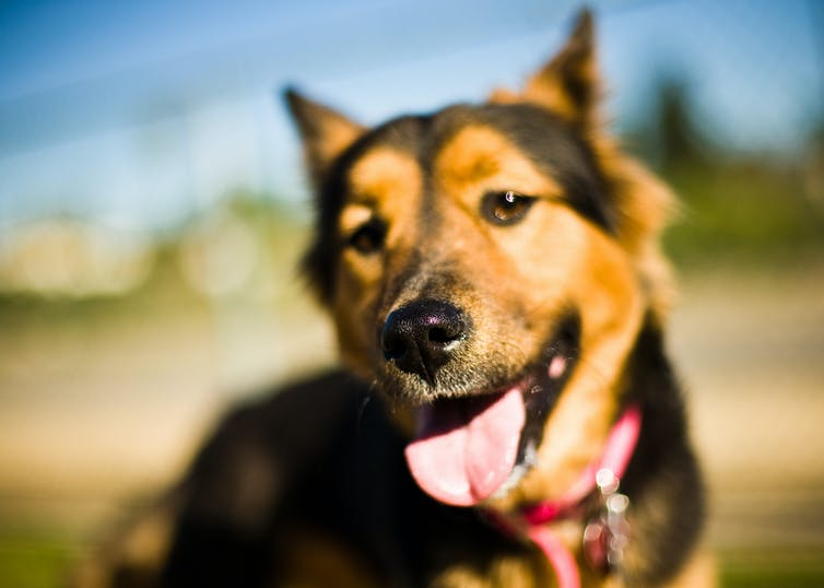 How far away can dogs smell and hear?