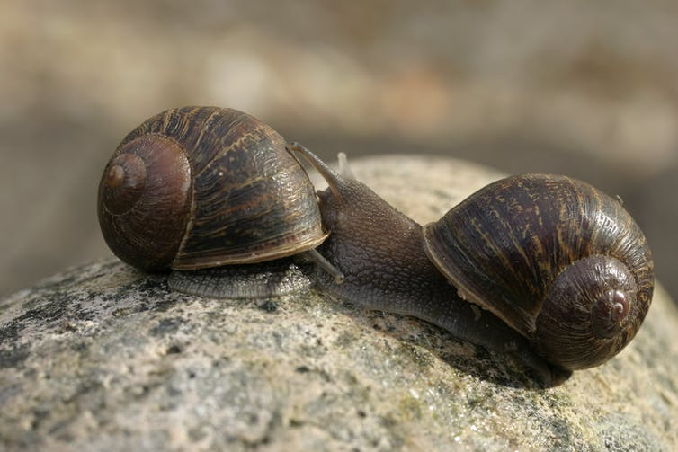 Conventional dextral garden snail on left and sinistral Jeremy on right (Photo: Angus Davison/University of Nottingham, Author provided)