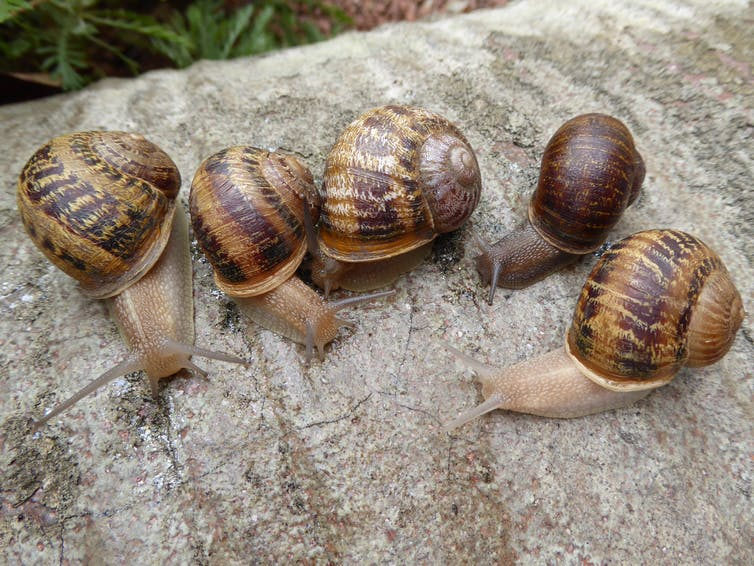 Jeremy (second from right) with his left-coiled potential mates