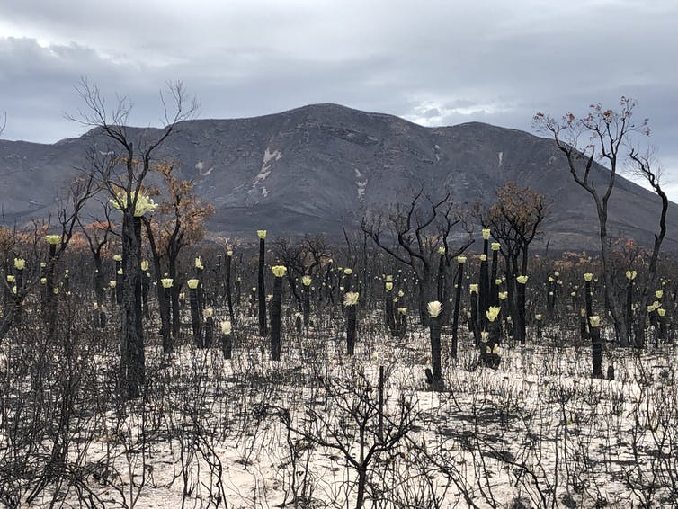 After last summer's fires, the bell tolls for Australia's endangered mountain bells