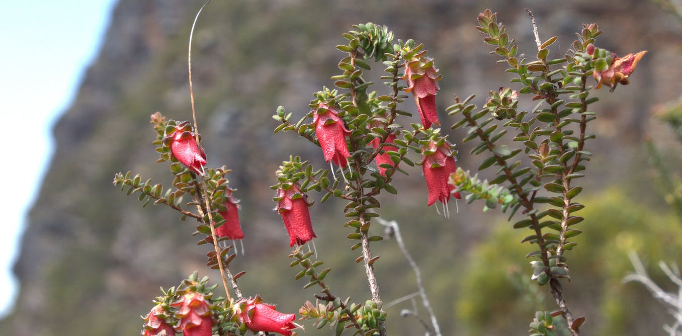 After last summers fires, the bell tolls for Australia's endangered mountain bells