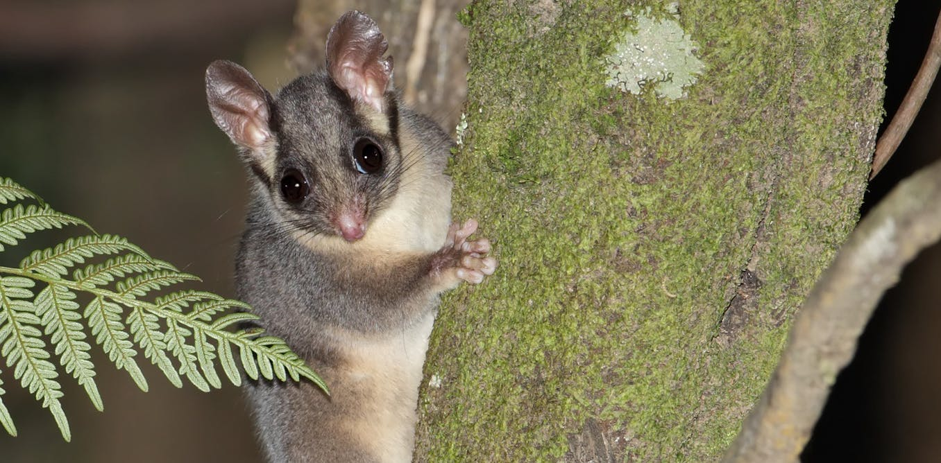 We modelled the future of Leadbeater's possum habitat and found bushfires, not logging, pose the greatest threat