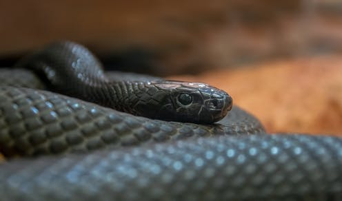 The world's most venomous snake, the inland taipan, is only found in Australia.