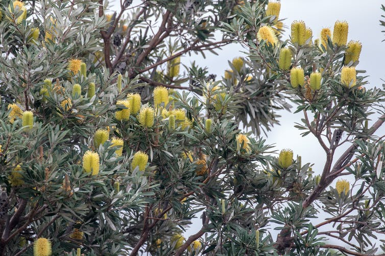 The coastal banksia has its roots in ancient Gondwana