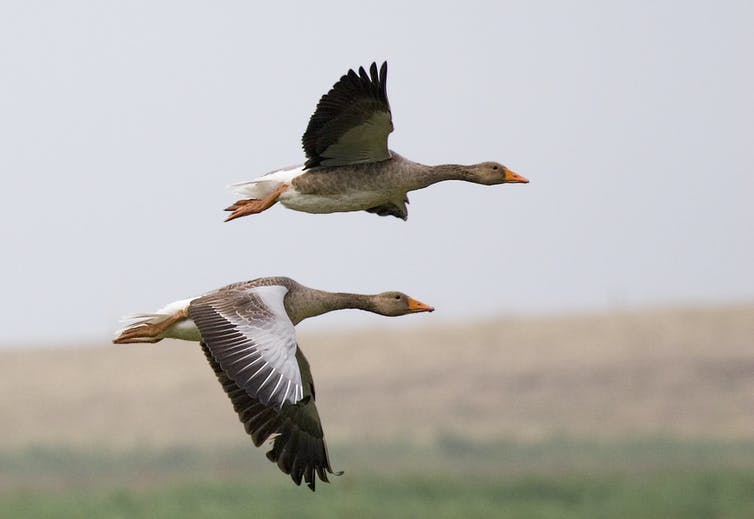 Two greylay geese flying above a landscape.