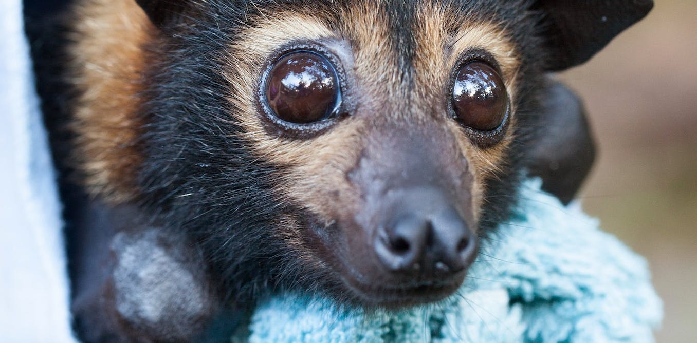 Our laws failed these endangered flying-foxes at every turn. On Saturday, Cairns council will put another nail in the coffin