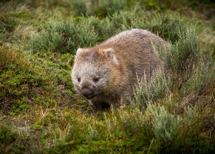 Meet the giant wombat relative that scratched out a living in Australia 25 million years ago