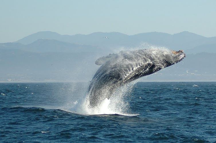 A humpback whale jumping out of the sea.
