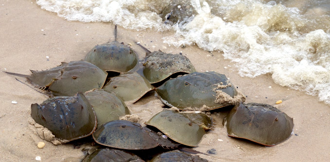 'Living fossils': we mapped half a billion years of horseshoe crabs to save them from blood harvests