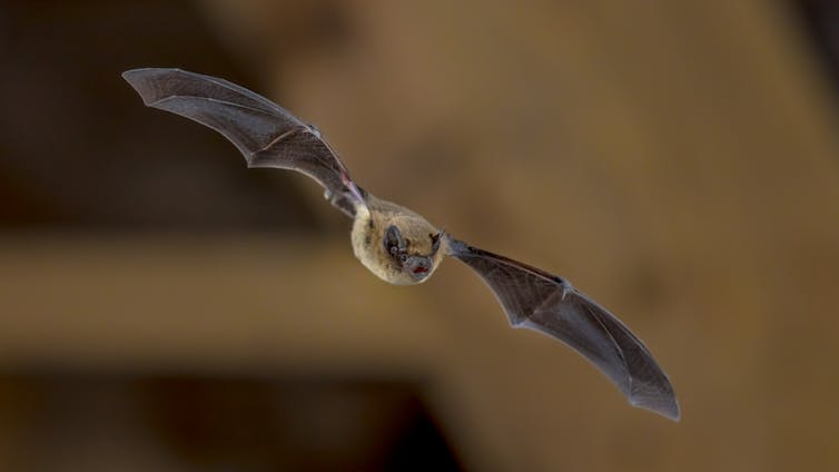 Bats are hosts to a range of viruses but don't get sick – why?-2