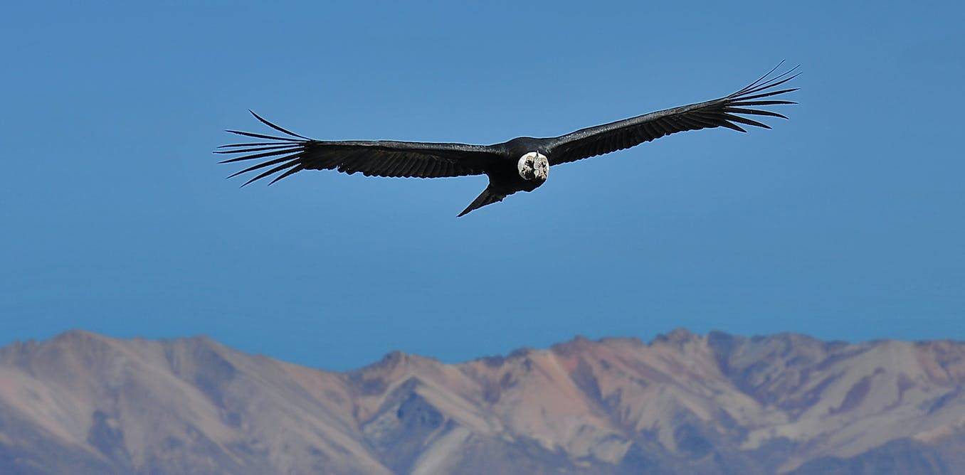 We Tagged Andean Condors To Find Out How Huge Birds Fly Without Flapping